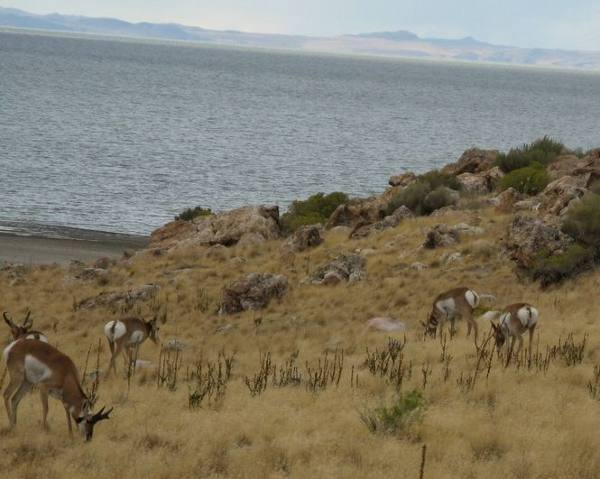 photo of Antelope on Antelope Island
