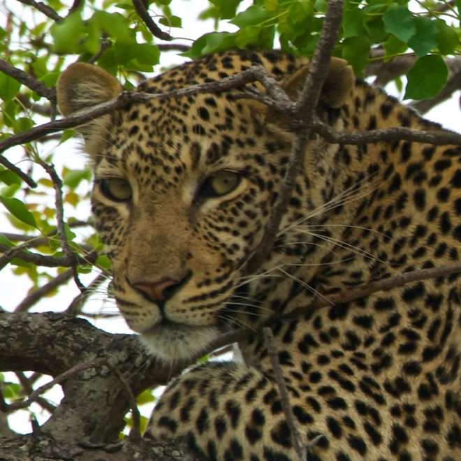 photo of a leopard resting in a tree