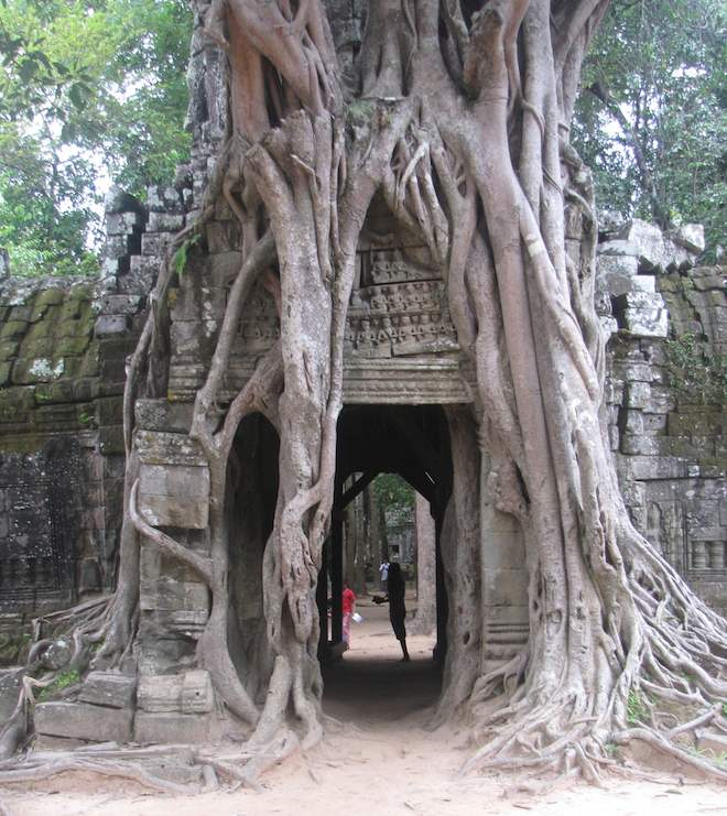 photo of banyan tree growing over temple entranceway