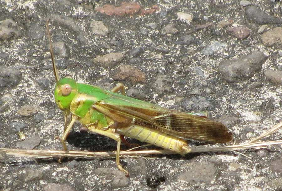 photo of a green and yellow grasshopper
