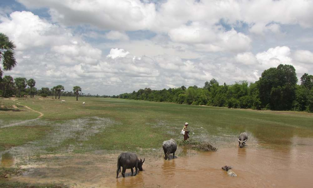 photo of water buffaloes in Cambodia