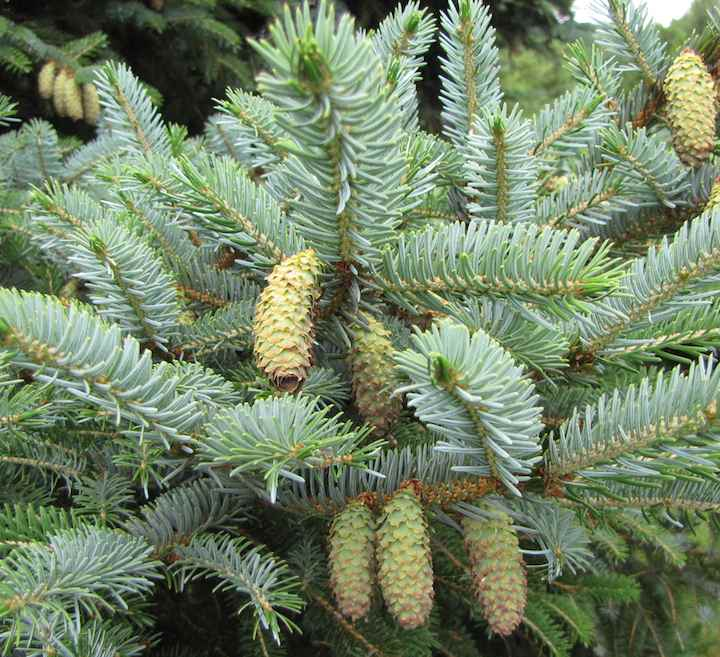photo of Pinecones, Arboretum, Madison, Wisconsin