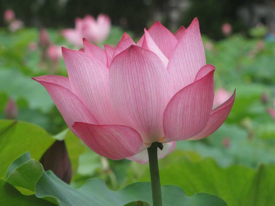 photo of Pink Lotus Flower