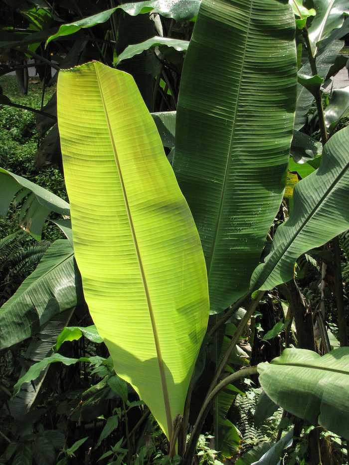 Banana leaves on tree