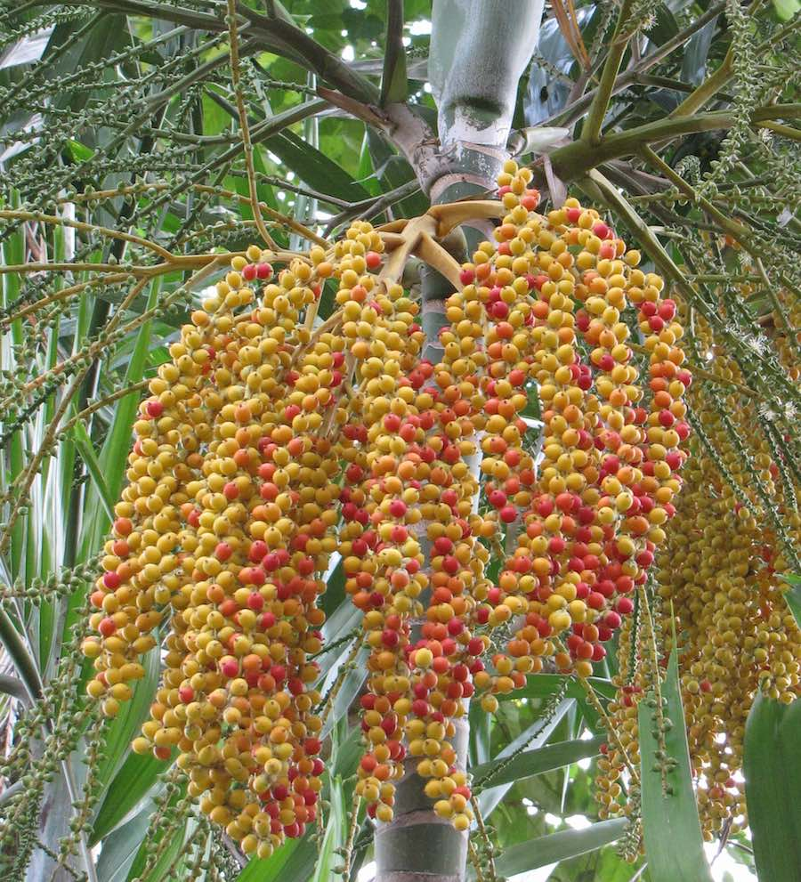 Red and yellow dates on a Date Palm tree