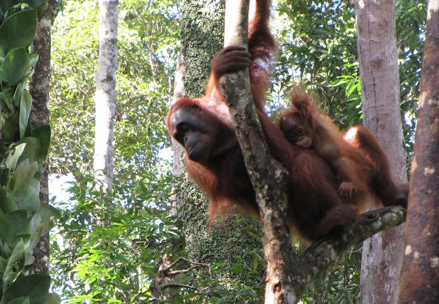 Orangutan in tree with a baby