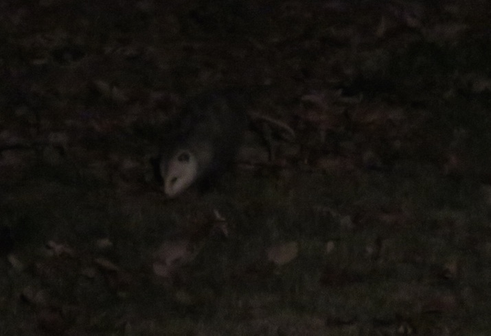 Possum photo unadjusted (essentially all black)