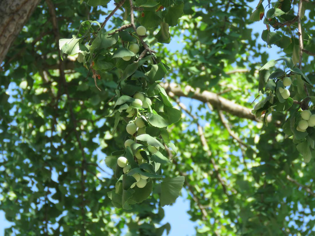 photo of ginkgo tree bearing fruit