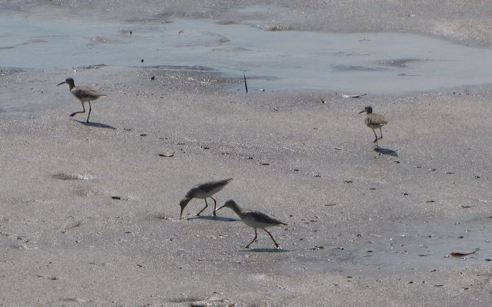 4 common sandpipers running on the beach