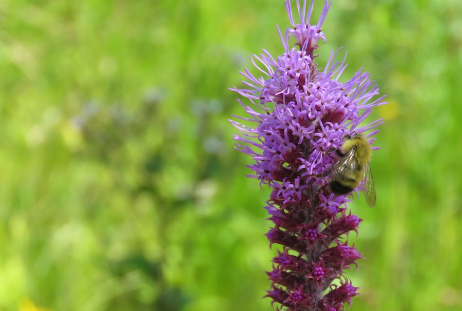 Bee on purple flowers with greenery in the background