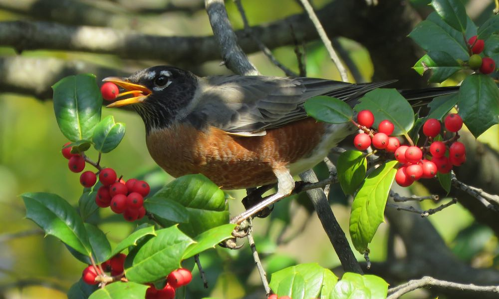 photo of a robin in holly tree eating a red berry